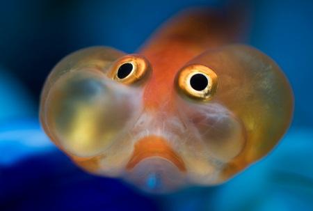 Celestial Eyed Gold Fish