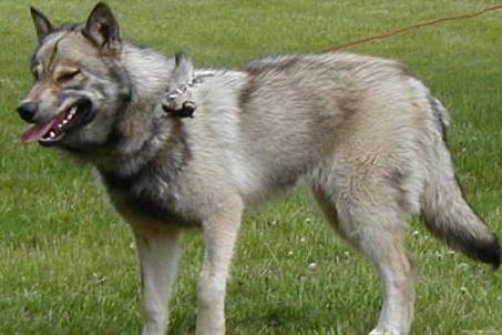 Wolf Hybrids