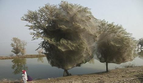 Spiderweb Cocooned Tree