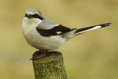 Great Gray Shrike
