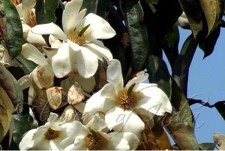 Temple Magnolia
